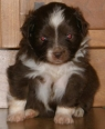 Miniature Australian Shepherd, 4 weeks, red bi color